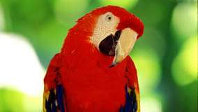 Red Parrot Looking Very Cute